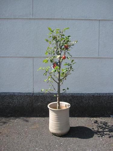 2019年花芽付きりんごアルプス乙女りんごの鉢植えりんご鉢入りアルプス乙女りんご鉢植え果樹鉢植え