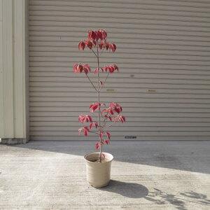 2021年4月頃開花ハナミズキピンク花水木シンボルツリー 【ハナミズキ 鉢植え】 ピンクのハナミズキ 贈り物に 花ミズキ  信楽鉢入り  鉢植え