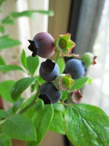 お中元に ブルーべり鉢植え【果樹】【鉢植え】 【ブルーベリー】大粒 アーリーブルー