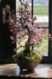 お祝いギフト盆栽2021年4月中頃開花ハナカイドウ桜桜盆栽スイシカイドウさくら盆栽花海棠桜ハナカイドウ盆栽春にお花見ができます鉢花