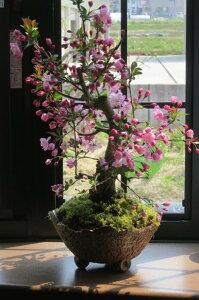 ハナカイドウ桜桜盆栽盆栽:花海棠桜ハナカイドウ桜盆栽