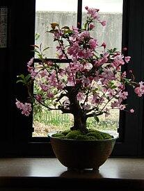 2019年4月2週目頃開花 おすすめ信楽鉢入りハナカイドウサクラ盆栽  プレゼントにもおすすめです