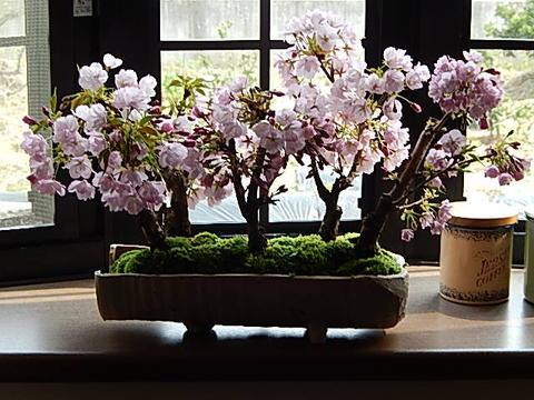 桜盆栽サクラ自宅で桜の満開を楽しむ2019年4月開花の桜盆栽となります。桜盆栽桜並木桜盆栽サクラ盆栽お祝い桜盆栽信楽鉢入りお祝い事のプレゼントに
