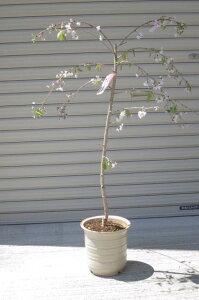 【八重紅しだれ桜】八重しだれ桜鉢植え