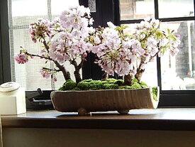 お祝い【桜盆栽】お花見桜盆栽桜桜並木桜盆栽海外でも BONSAUIボンサイといいます。桜盆栽信楽鉢入り