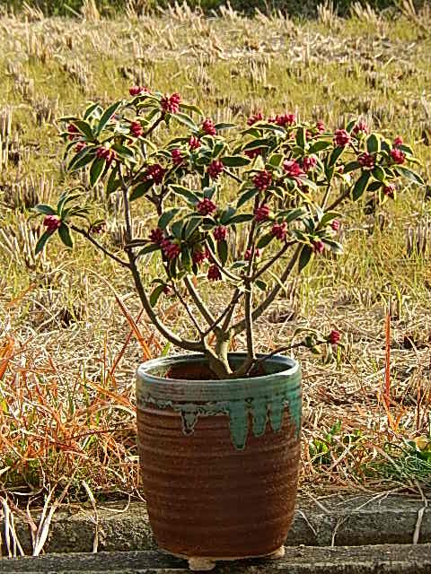 沈丁花前島2019年開花3月〜4月頃開花ジンチョウゲ鉢植え花の香りがいいかおりがします自然の香水沈丁花覆輪沈丁花前島