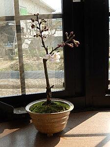母の日プレゼントにサクランボ盆栽さくらんぼサクランボ 花と実が楽しめます