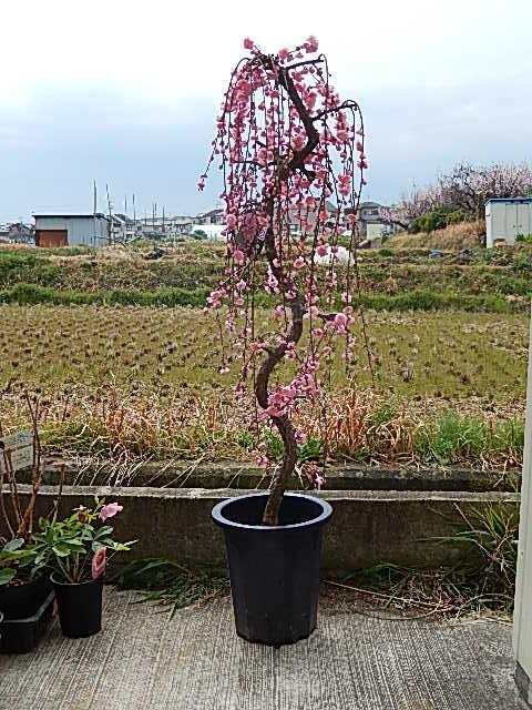 枝垂れ梅苗 特大 しだれ梅  大   枝垂れ梅 シダレ梅 庭木  花芽が 300芽以上あります  開花は ピンク 八重しだれ梅