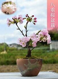 今年のホワイトデーの贈り物に2021年4月に自宅でお花見さくらを楽しむホワイトデーの贈り物に 桜盆栽八重桜盆栽2021年4月に開花かわいいお花見さくら盆栽です