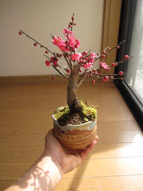 梅盆栽 梅盆栽信楽焼き入り紅梅盆栽梅の盆栽