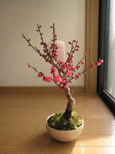 香りとお花を楽しむ新春お祝い梅盆栽2021年2月中頃開花 【盆栽】信楽焼き入り紅梅梅の盆栽
