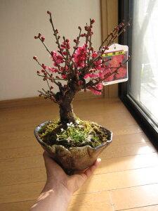 送料無料紅梅盆栽 梅と 香りの贈り物 寒紅梅盆栽 開花は二月ちなみに海外でも BONSAI ボンサイと言います。