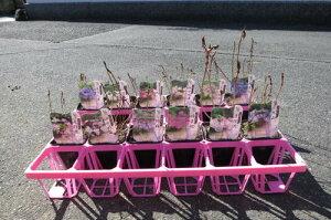 山紫陽花いろんな山アジサイ12種類当店お任せセット 育てる事が楽しくなるいろんな【あじさい】貴方のお庭をアジサイの咲くお庭に
