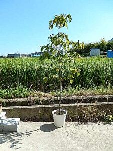 ハナミズキ苗ピンク花花水木2021年開花苗ハナミズキシンボルツリー 【ハナミズキ 苗木】 高さ 約150センチ前後の大苗です。