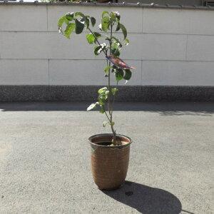 花水木鉢植え高さ 50センチ前後【信楽鉢植え】 ハナミズキアカのハナミズキ2021年開花
