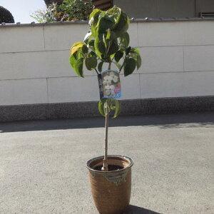 2021年4月頃に開花【鉢花】高さ 50センチ前後【信楽鉢植え】 ハナミズキシロのハナミズキ春に開花