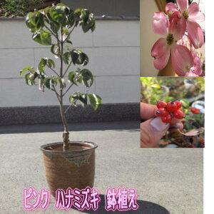 2021年4月頃開花【鉢花】ハナミズキジュニアミスハナミズキ鉢植えハナミズキピンク花 ピンクのハナミズキ春に開花