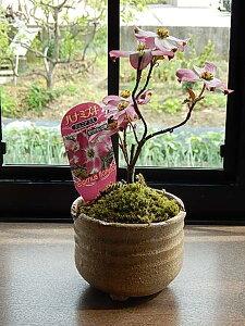 2021年4月頃開花ハナミズキミニ盆栽ハナミズキジュニアミスハナミズキピンクハナミズキ花水木鉢植えかわいい ハナミズキピンク