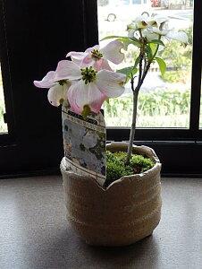 2021年4月に開花ハナミズキミニミニ鉢植えハナミズキ紅白寄せ植え 花水木ピンクハナミズキ花水木鉢植えかわいい ハナミズキピンク