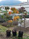 令和の記念植樹に3色ハナミズキ苗木ハナミズキ2021年開花苗紅と白とピンクセット白花ハナミズキとアカハナハナミズキ…