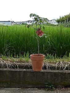 2021年開花のハナミズキ【鉢花】ハナミズキ鉢植え 鉢植え花水木  4月頃開花