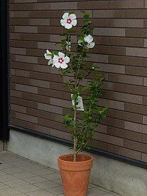 ムクゲ  ムクゲ レッドハート鉢植え  2021年開花