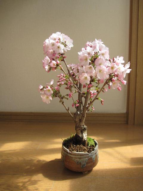 母の日ギフト2018年5月に開花雨の日でも自宅でお花見桜盆栽お祝い事のプレゼントに桜盆栽ミニ桜盆栽殿場桜信楽鉢入り 御殿場桜盆栽海外でもBONSAIボンサイと言います。
