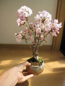 自宅でさくらのお花見を2021年4月頃に自宅で桜のお花見桜盆栽さくらのお花見が楽しめます 御殿場桜盆栽