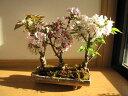 桜盆栽桜の方舟桜盆栽豪華桜3種桜寄せ植え桜盆栽 2020年花芽付の桜盆栽となります。送料無料海外でも BONSAI ボンサ…