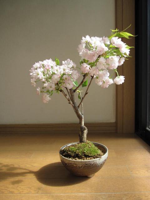 2018年開花予定さくら盆栽パッと咲く桜盆栽桜盆栽 楊貴妃サクラ盆栽八重桜盆栽信楽鉢入り ちなみに海外でも BONSAI ボンサイと言います。 サクラでお花見花鉢