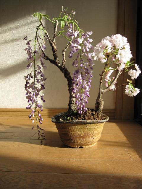 2019年4月末頃開花のプレゼントにおすすめ藤盆栽でお花見2019年花芽付の桜と藤盆栽となります。春には綺麗なお花を二つ藤盆栽桜盆栽寄せ植え 藤と桜寄せ植え盆栽  信楽鉢入り ボンサイ