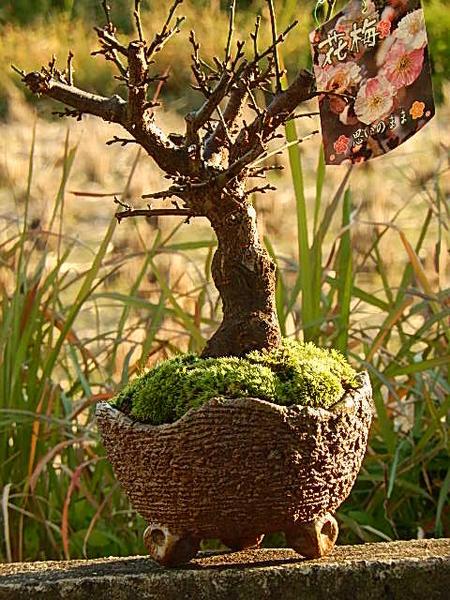 新春盆栽咲き分け梅梅盆栽2018年2月〜3月開花 咲き分け 思いのまま梅信楽焼き入り想いののまま梅