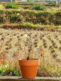 2020年1月〜2月開花花芽つき 満月ロウバイ鉢植え蝋梅 ロウバイ蝋梅のお花からとてもいい香りします。  満月ロウバイ素焼き鉢植え満月蝋梅(まんげつろうばい)