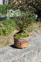 盆栽:香丁木ミニ盆栽 信楽鉢入り