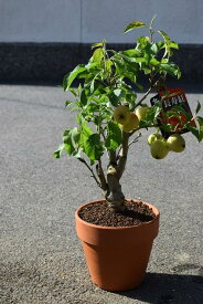 2019年鉢植え可愛いりんご誕生日やプレゼントのお祝い鉢植リンゴ:【りんご鉢植え】【長寿りんご】 花も実も楽しめるりんごです長寿紅りんご