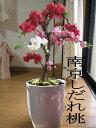 花桃鉢植え【南京桃しだれ桃】2021年3月から4月に開花お祝いの鉢花桃花縁起のいいしだれ桃縁起の良い桃の木八重しだれ…