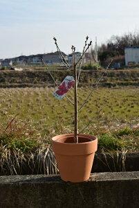 2021年4月に開花のあとに 実がなるサクランボ 花も実も楽しめる鉢植 さらに実は食べれます暖地さくらんぼ【サクランボ鉢植え】 サクランボの収穫ができます。
