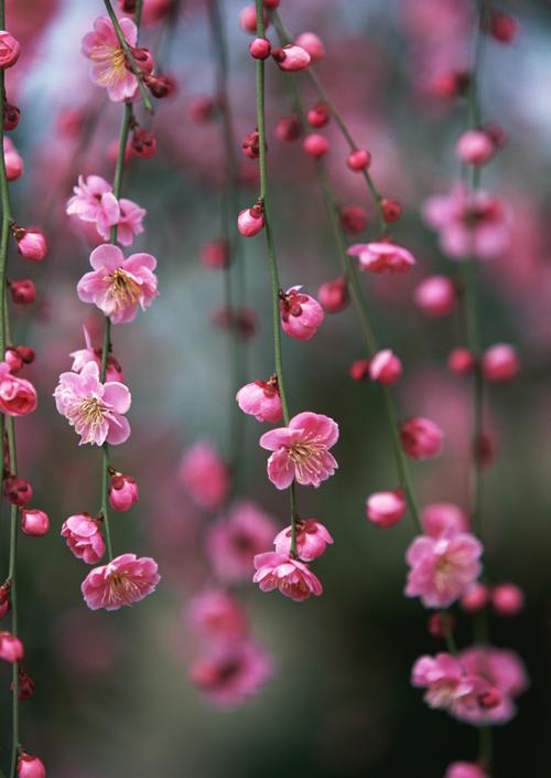 八重シダレ梅苗2019年3月頃開花予定しだれ梅苗 ピンク八重枝垂れ梅お勧め しだれ梅 苗ピンクの八重咲枝垂れ梅の梅苗 花芽確認苗新春に花と香りを楽しむしだれ梅