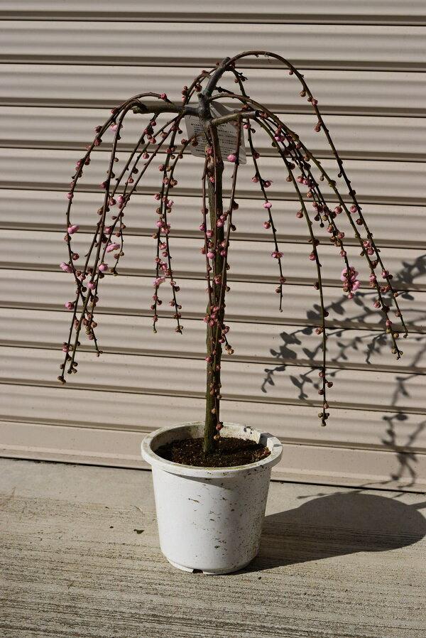 当店おすすめしだれ梅苗2019年3月頃から開花予定梅の開花八重しだれ梅 八重しだれ梅庭植え苗 ピンクの八重咲  花芽200芽 3月のおすすめです