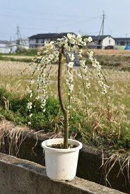 八重しだれ梅 白2019年3月頃開花 しだれ梅 白梅  八重咲の白色と 香りの贈り物このサイズでは珍しい しだれ白梅
