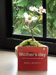 2021年4月頃開花ハナミズキ鉢花花水木 ミニサイズの花ミズキです