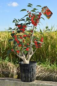梅モドキ苗 庭植え 大納言梅もどき 2020年11月迄は実がついています