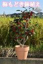 梅もどき鉢植え ウメモドキ大納言 8月〜12月頃は 赤い実がついています
