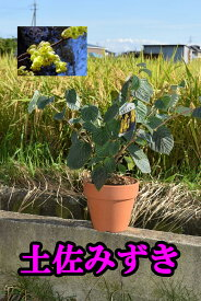 土佐みずき 土佐水木鉢植え
