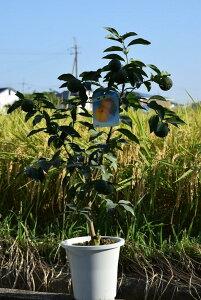 ギフトユズ鉢植え柚子 ゆず 2021年10月〜12月の期間は 実付きです 高さ 50センチ前後柑橘果樹を庭に植えると代々(橙)家が栄えると言われています