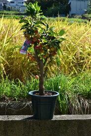 ギフト2019年5月〜9月実付ですクラブアップル姫りんご 小さな可愛らしい実をたくさんつけます秋の日ギフトに 実がついています プラ鉢植え