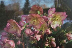 2017年NEWピンクニゲルクリスマスローズ氷の薔薇 ローズピンク 限定品 鉢植えニゲルのレッド花