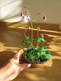 二色咲き風鈴オダマキ【山野草】  信楽鉢入り