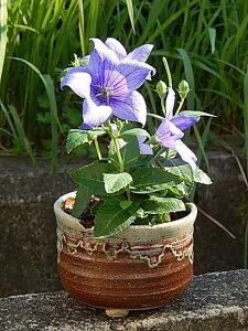 父の日のプレゼントに桔梗盆栽年7月開花予定キキョウ桔梗 【信楽焼き】桔梗鉢植え
