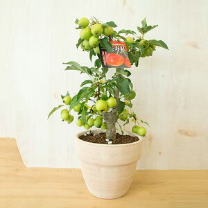2021年母の日ギフトに鉢植えミニりんごから秋には可愛いりんご誕生日やプレゼントのお祝い鉢植リンゴ:【りんご】【長寿りんご】 花も実も楽しめるりんごですイタリア製 テラコッタ鉢